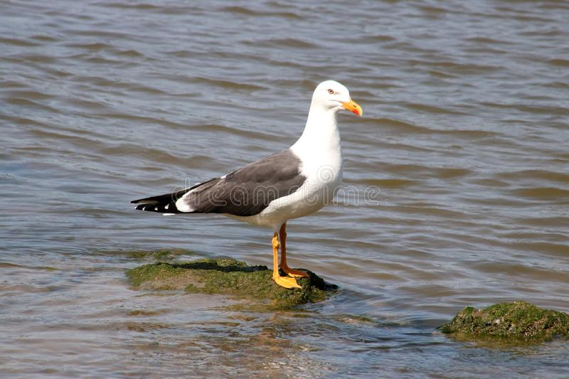 Lesser Black-backed Gull, Larus fuscus, on rock. Single adult Lesser Black-backed Gull, larus fuscus, standing on a rock by the side of the water in the River stock photography