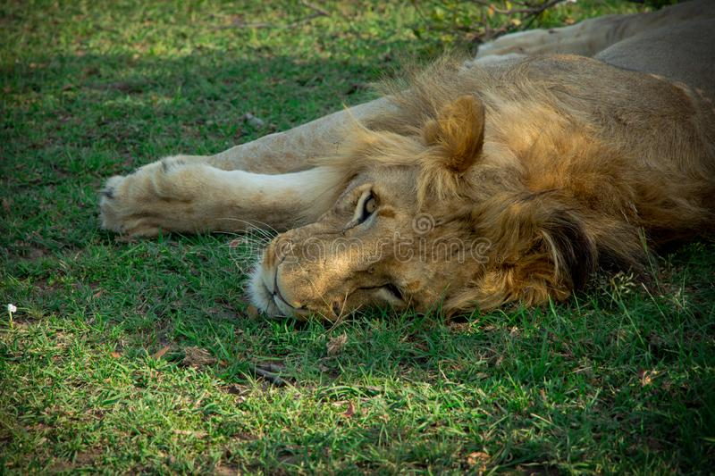 Single adult male lion lying on grass in the wild royalty free stock photography