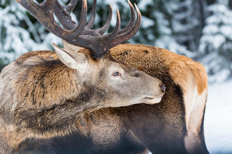 Single adult noble deer with big beautiful horns licking fur on winter forest background. Close up portrait stock image