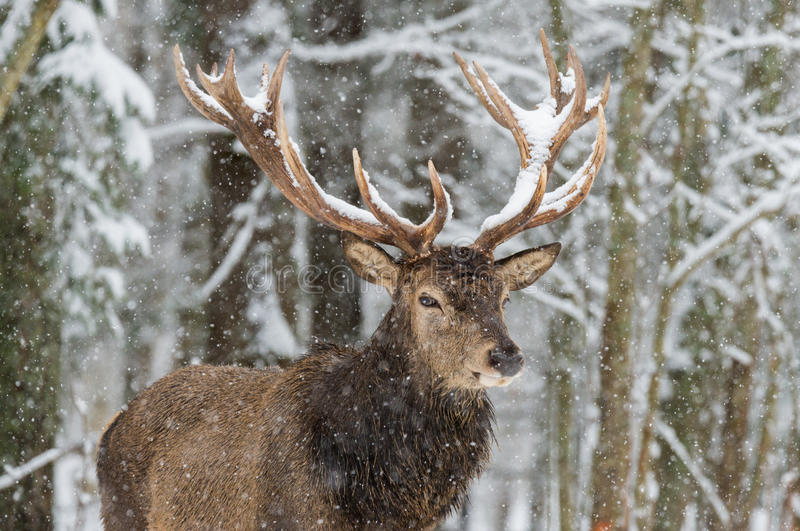 Single adult noble deer with big beautiful horns on snowy field on forest background. European wildlife landscape with snow and de. Er with big antlers.Portrait royalty free stock image