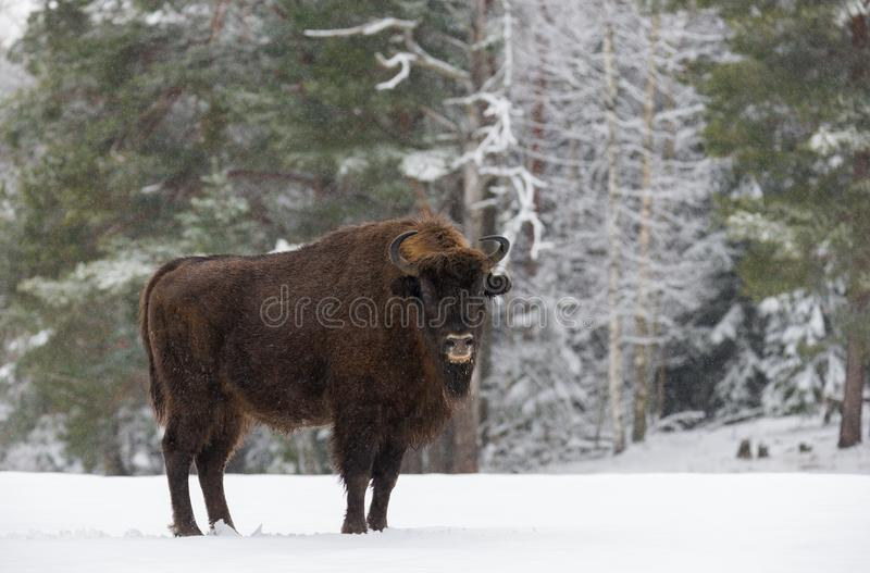 Single Adult Wild European Brown Bison Bison Bonasus On Snowy Field At Forest Background. European Wildlife Landscape With Sno royalty free stock images