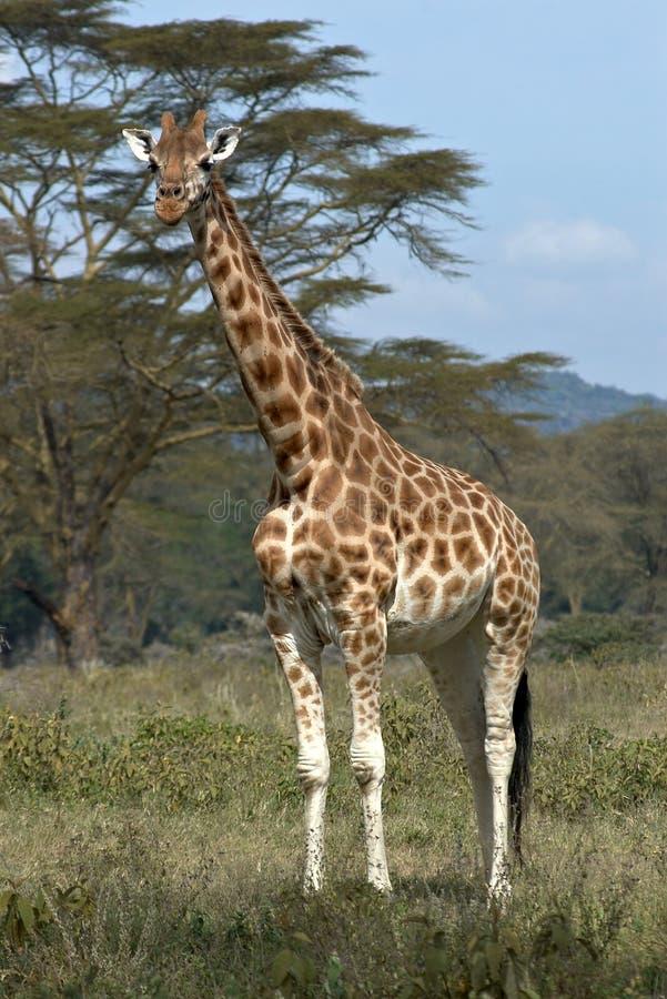 Single african giraffe stock photos