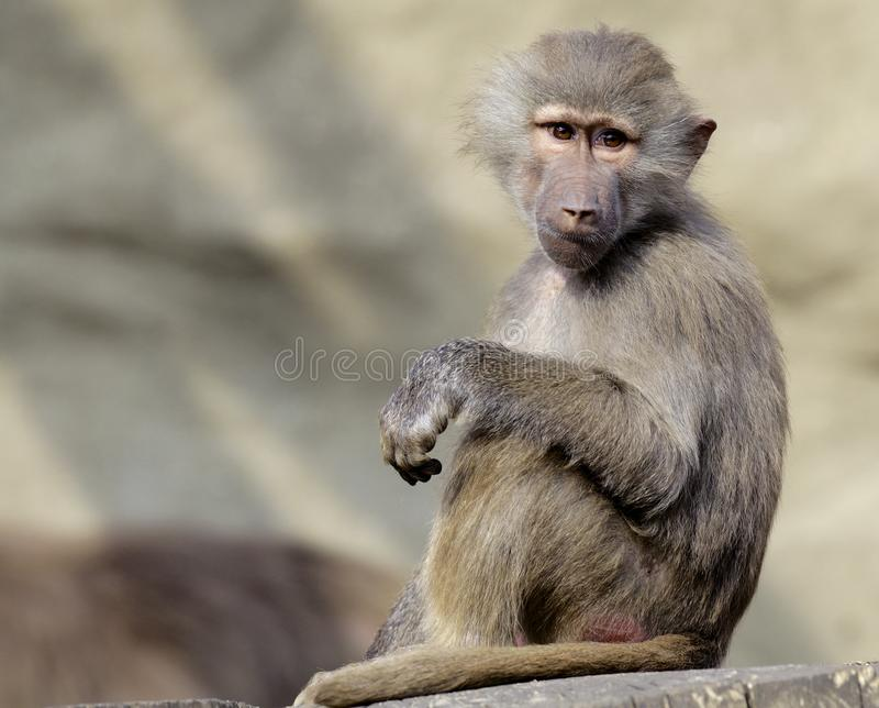 Single Hamadryas baboon in zoological garden. Single african Hamadryas baboon sitting on a tree branch in zoological garden stock images