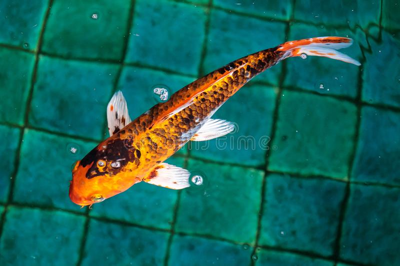 Single or alone or one Fancy Carp or Crap or Koi fish orange or gold color, swimming in the pond that water wave. Closeup to Single or alone or one Fancy Carp royalty free stock images