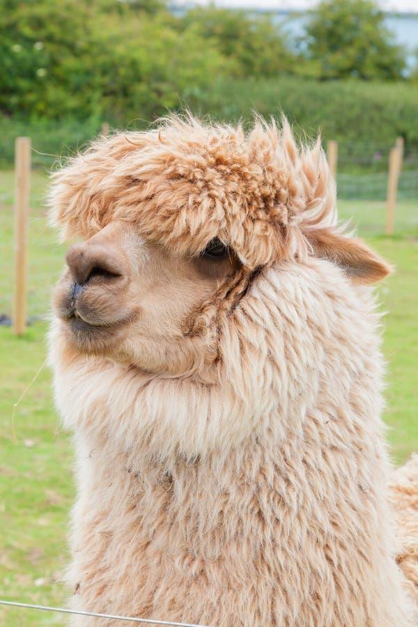 Free Single Alpaca Showing Its Thick Fleece Royalty Free Stock Photo - 32572145