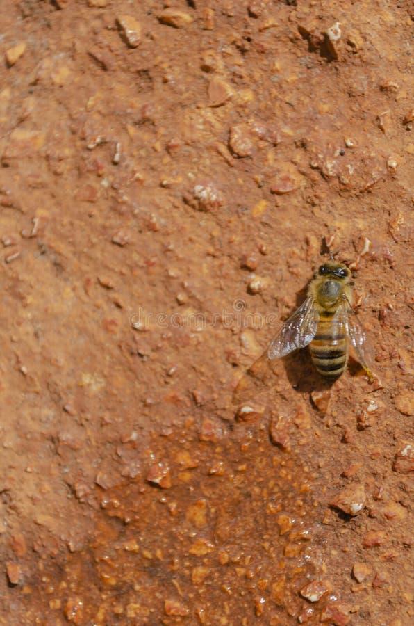 Single Apis Mellifera Honeybee On Rough Concrete royalty free stock photos