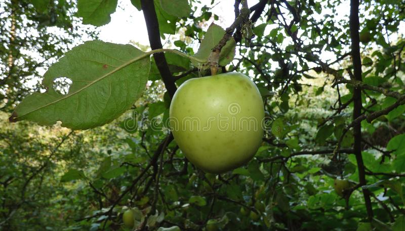 Apple on tree, found on a walk through the countryside in the United Kingdom stock images
