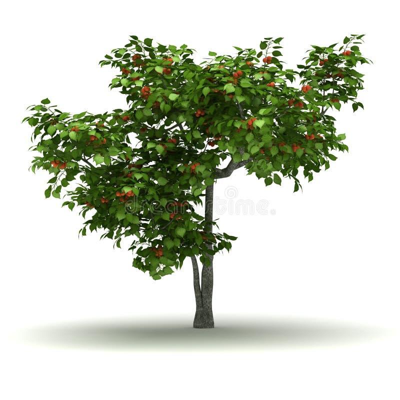 Single Apricot Tree. Single Apricot Prunus Armeniaca Tree ( white background royalty free illustration