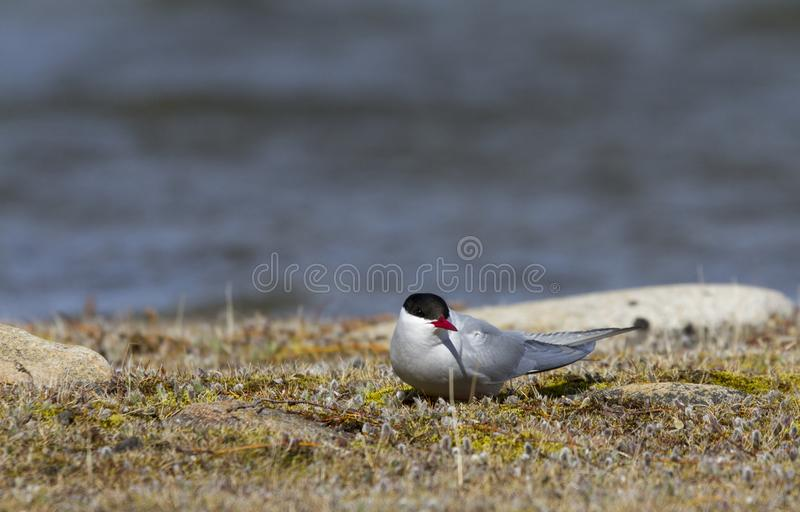 Single Arctic Tern sitting on the arctic tundra and looking around, near Arviat. Single Arctic Tern, Sterna paradisaea, sitting on the arctic tundra and looking royalty free stock image