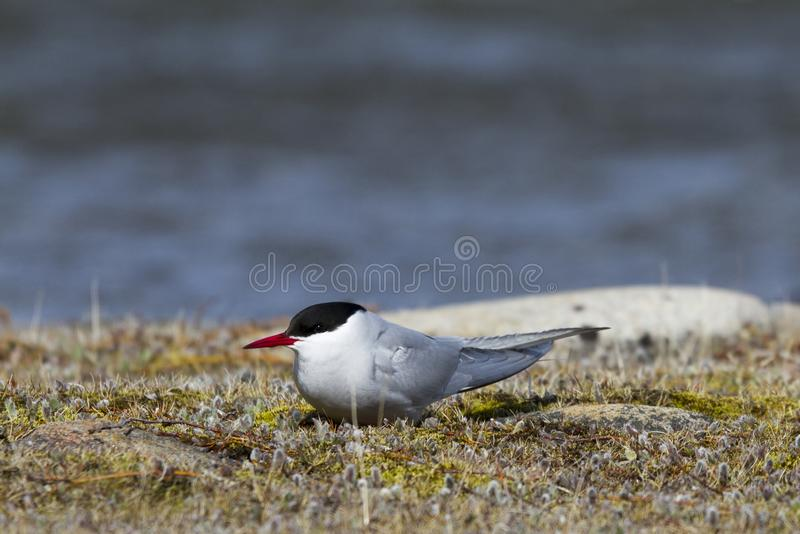 Single Arctic Tern sitting on the arctic tundra and looking around, near Arviat. Single Arctic Tern, Sterna paradisaea, sitting on the arctic tundra and looking royalty free stock photos
