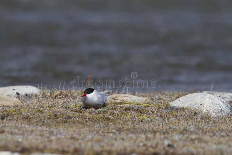 Single Arctic Tern sitting on the arctic tundra, near Arviat. Single Arctic Tern, Sterna paradisaea, sitting on the arctic tundra, near Arviat, Nunavut, Canada royalty free stock image