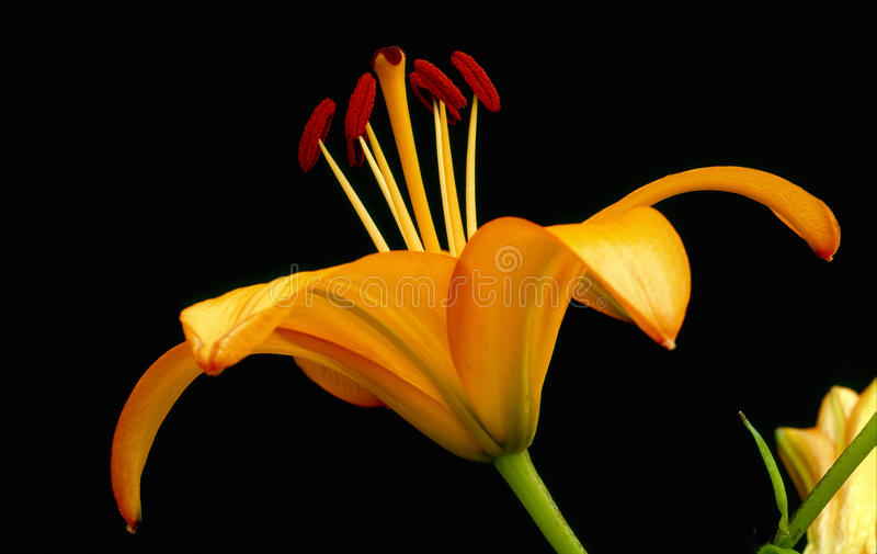 Single Asiatic lily, still life on black