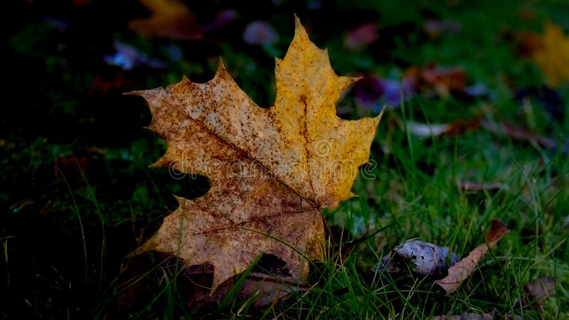 Single autum leaf. Single leaf in a dark mood for autum that are right around the corner stock image