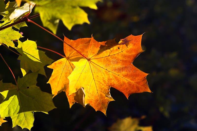 Download Single Autumn Leaf Royalty Free Stock Photos - Image: 6128268