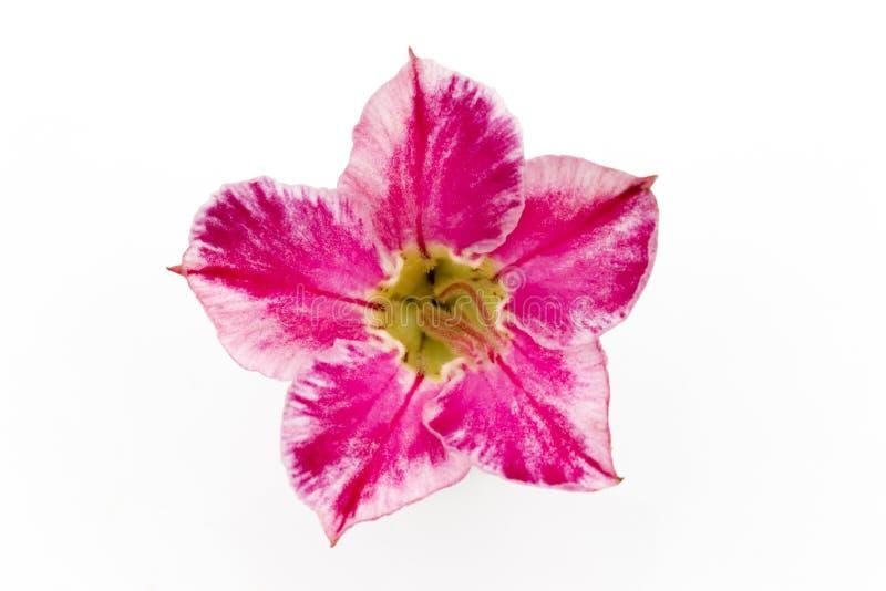 Single azalea flowers on white background royalty free stock images