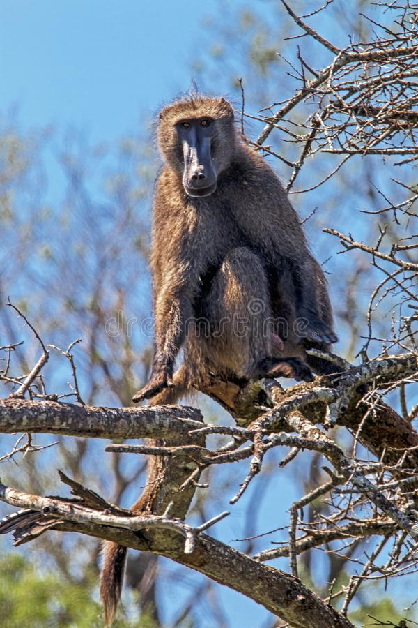 Single Baboon Sitting on Dry Leafless Tree Branches. Against blue sky background at Imfolozi-Hluhluwe game reserve in South Africa royalty free stock images