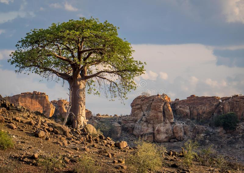 Single Baobab tree in South African Landscape. A single baobab tree in a rocky South African Landscape with clouds in sky stock images