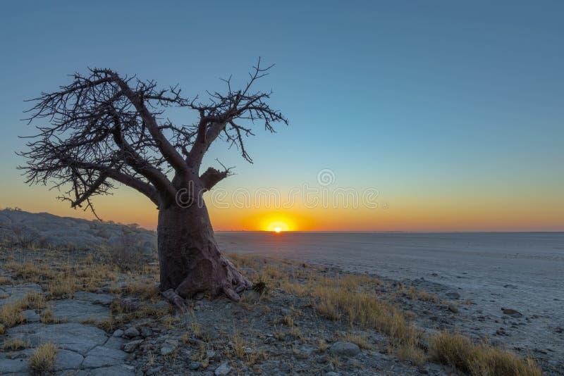 Single baobab tree at sunset on Kubu Island. Botswana stock image