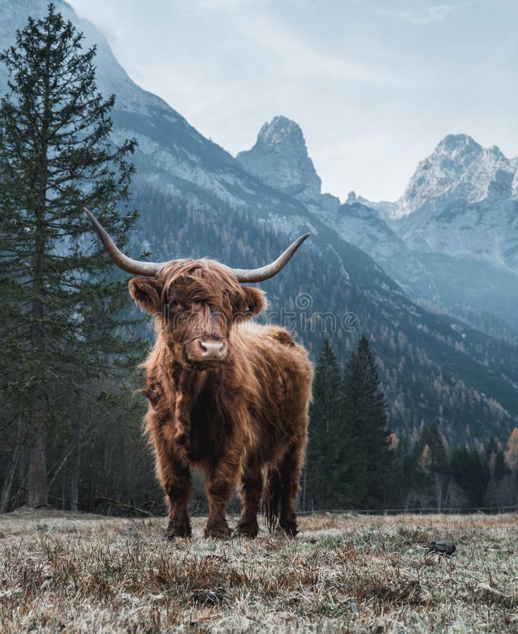 Highland Cattle in front of huge Peaks. Single Bautiful Highland Cattle standing alone on a frozen Meadow in front of Huge Peaks in the Italian Dolomites stock photos