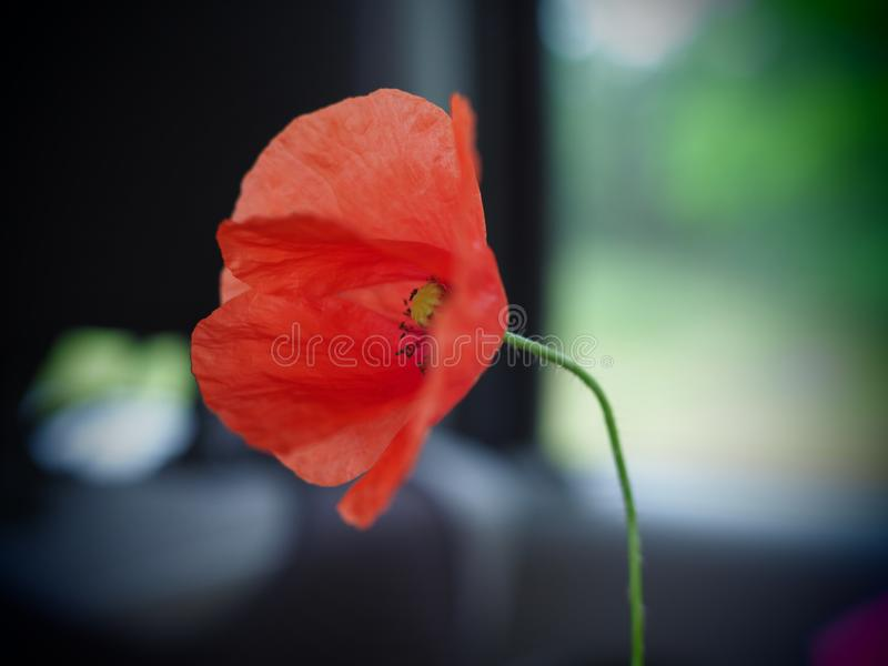 Single beautiful blooming red poppy flower in summer.  royalty free stock photography