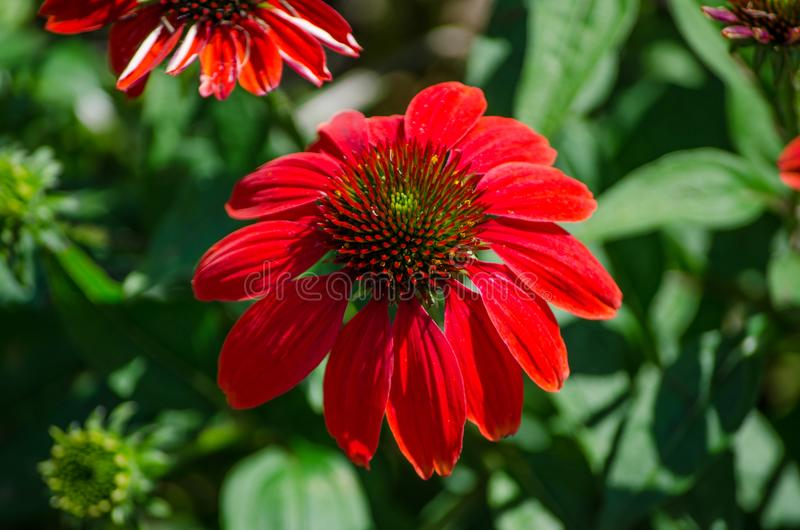 Single beautiful echinacea `Sombrero Salsa red` flower in a spring season at a botanical garden. royalty free stock image