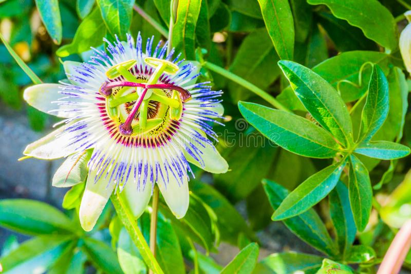 Single beautiful passion flower macro close up white and purple color stock photos