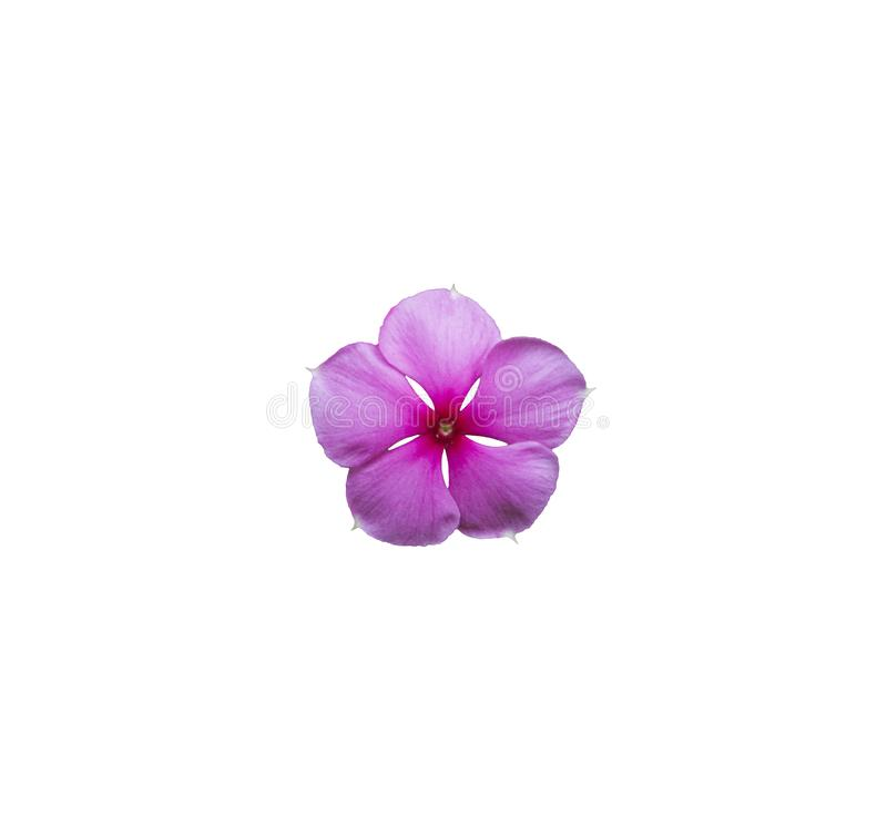 Single beautiful purple or pink of vinca flower blooming isolated on white background. Pretty flower in closeup. Single beautiful purple or pink of vinca flower royalty free stock image