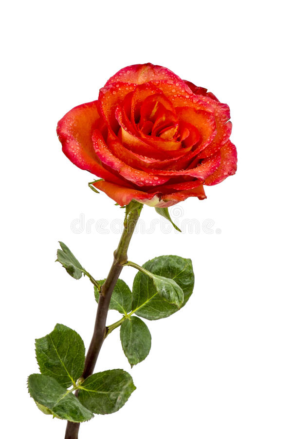 Download Single beautiful red rose stock photo. Image of copy - 30158546