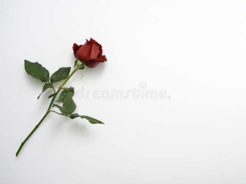 Single beautiful red rose on white. Single beautiful red rose isolated on white background royalty free stock photography