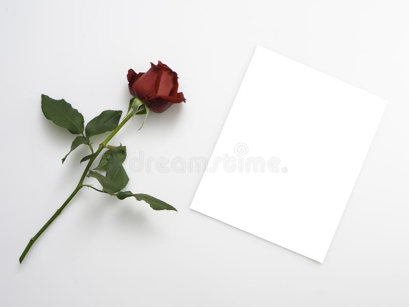 Single beautiful red rose on white. Single beautiful red rose isolated on white background stock photography