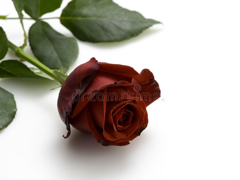 Single beautiful red rose on white. Single beautiful red rose isolated on white background stock images