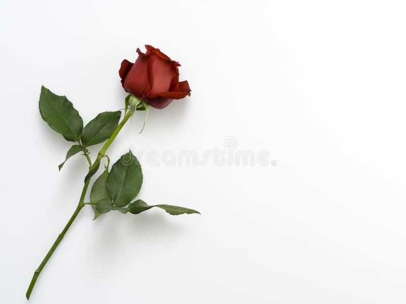 Single beautiful red rose on white. Single beautiful red rose isolated on white background royalty free stock images