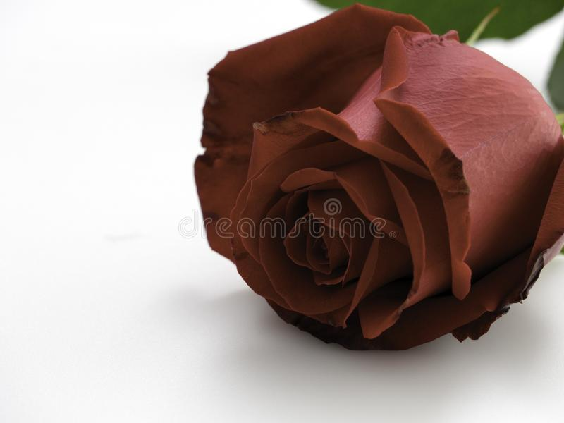 Single beautiful red rose on white. Single beautiful red rose isolated on white background stock photos