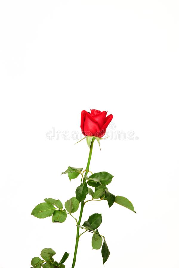 Single beautiful red rose on white royalty free stock photos