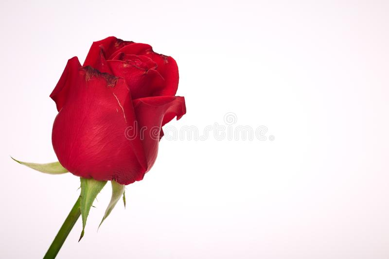 Single beautiful red rose on white stock photo