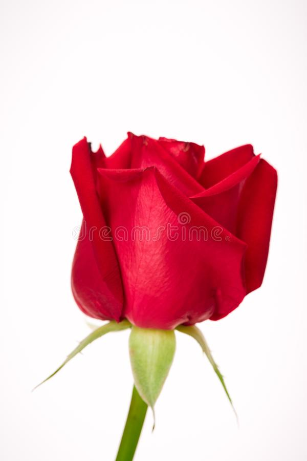Single beautiful red rose on white stock image