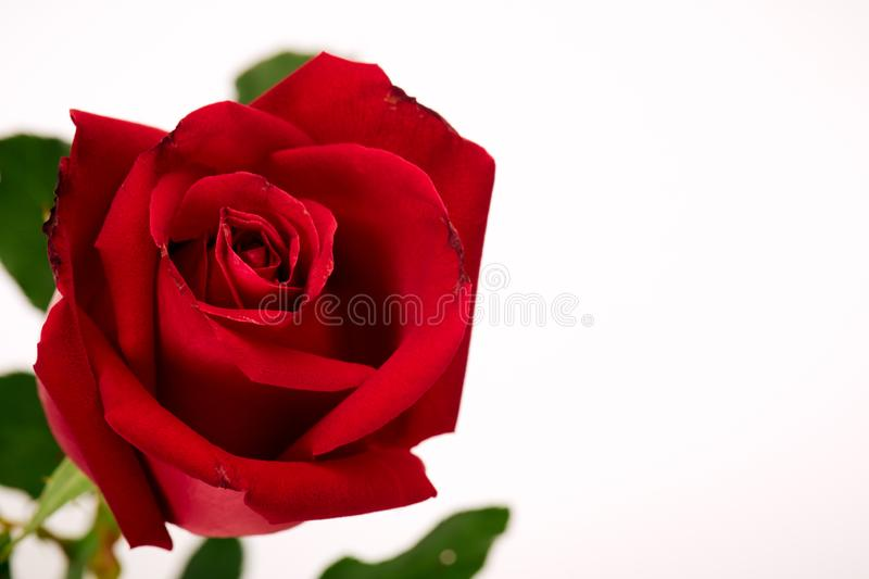 Single beautiful red rose on white stock photos