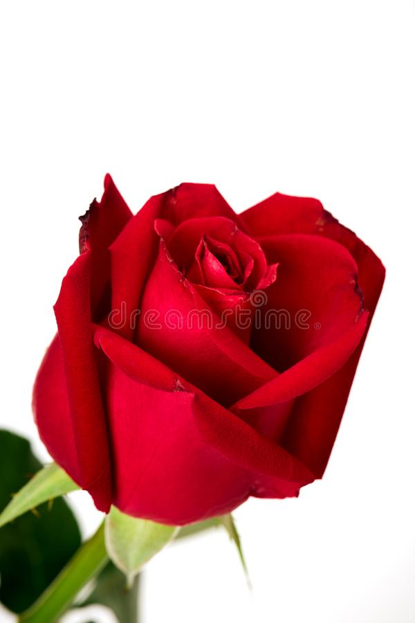 Single beautiful red rose on white stock images