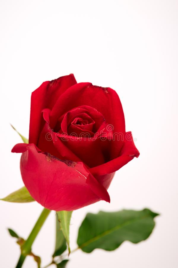 Single beautiful red rose on white royalty free stock image