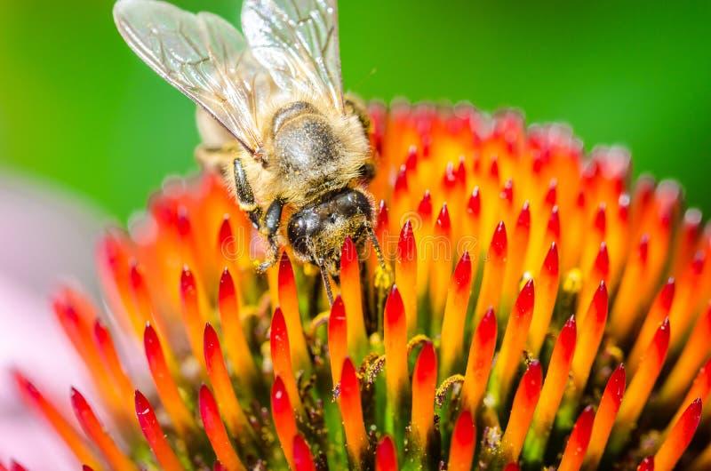 single bee on a flower/bee pollinates summer echinacea purpurea stock photos