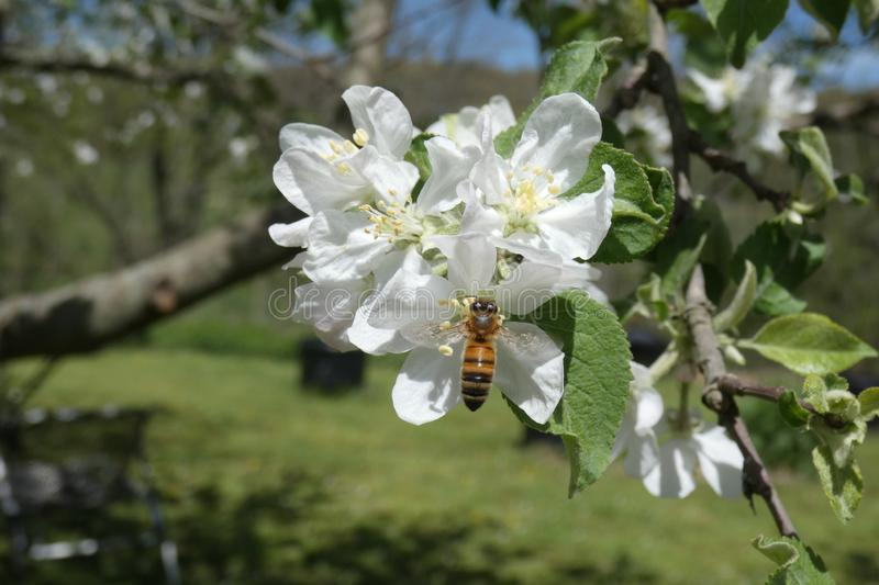 Single Bee Gathering White Apple Blossom Nectar stock images