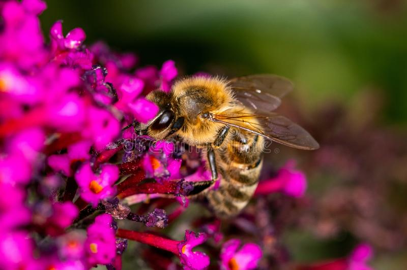 A single bee looking for nectar on a purple flower - macro shot, close-up royalty free stock images