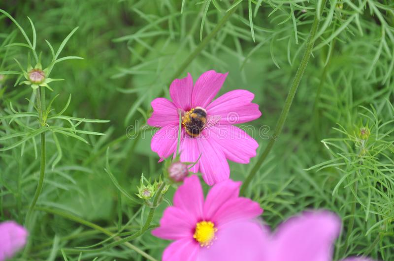 A a single bee on a pink flower royalty free stock photo