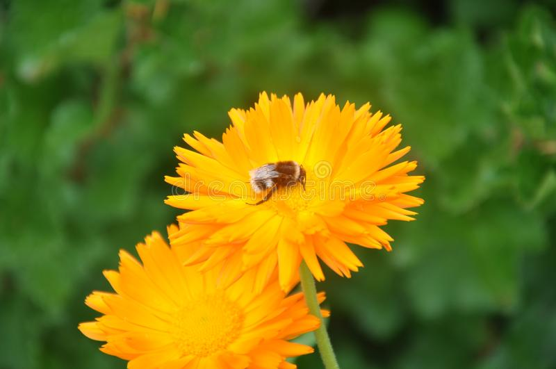 A a single bee on a yellow flower stock images