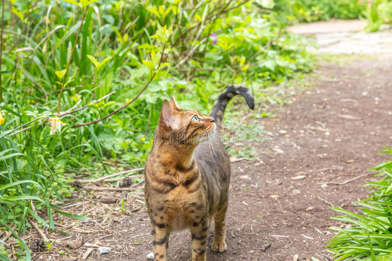 A single bengal cat hunting royalty free stock image