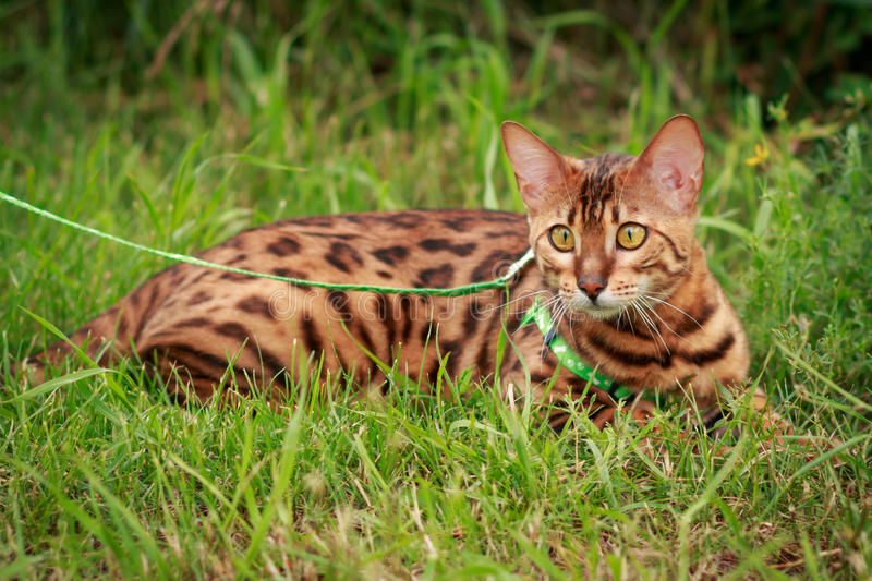 A single bengal cat in natural surroundings stock photography