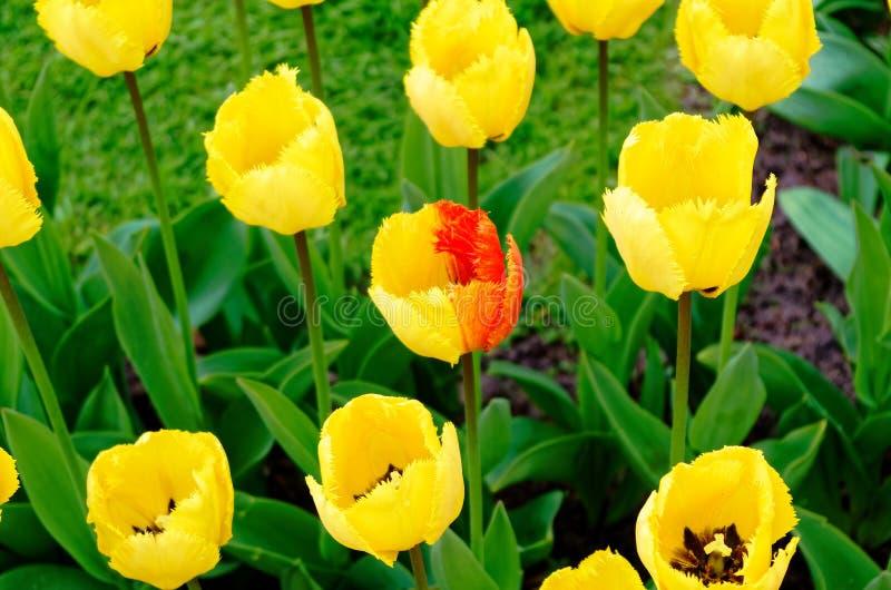 Single bi-color tulip inside a field of yellow tulips. Keukenhof garden, Netherlands royalty free stock image