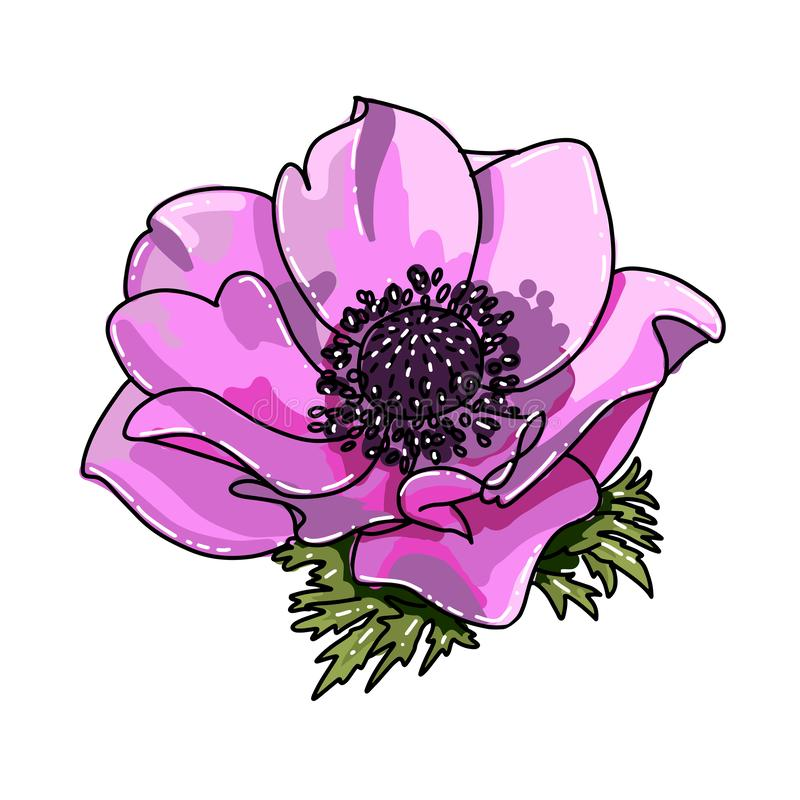 Single big hand drawn colored anemone. Pink flower with black line path, close-up, on a white background. Botanical vector royalty free illustration