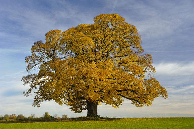 Single big linden tree stock photo
