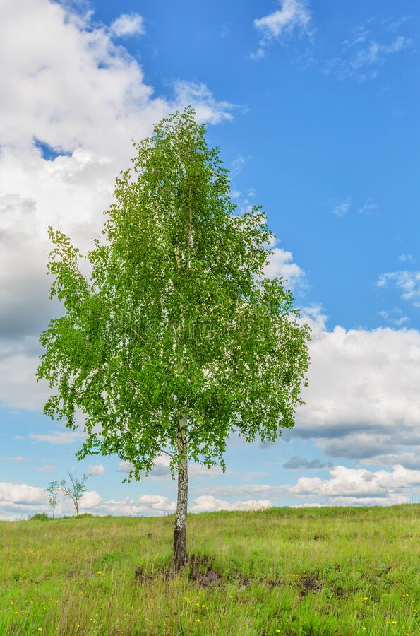 Single birch on the meadow stock images